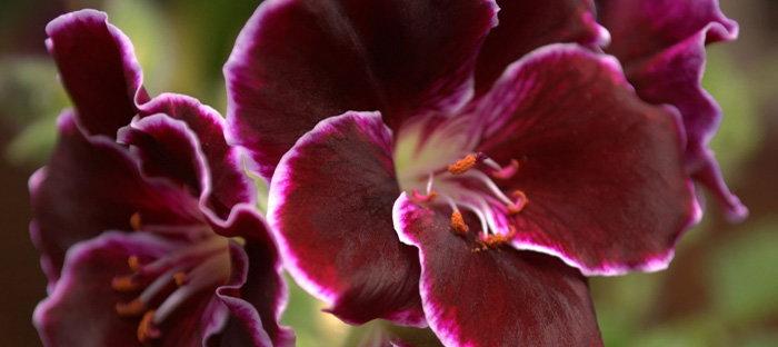 Pelargonium, Martha Washington type