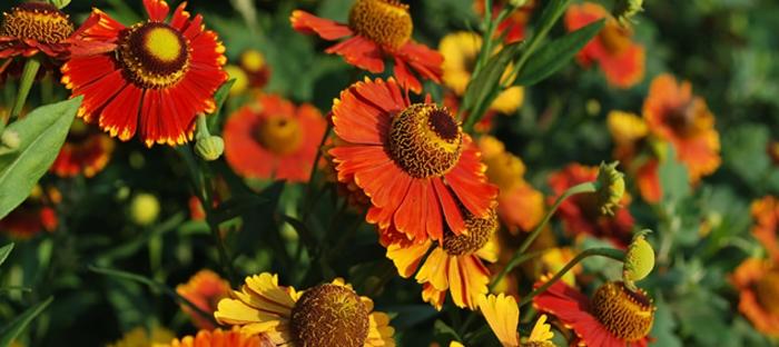 Helenium Flower Blooms