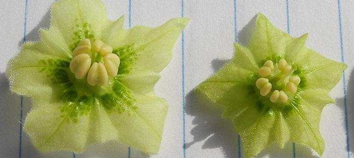 Jaltomata procumbens blossoms