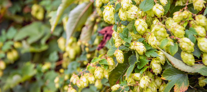 hops cones on the vine