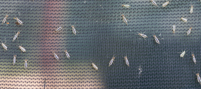 Insects on a fine mesh screen