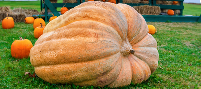 A Dill's Atlantic Giant Pumpkin in front of other, smaller pumpkins