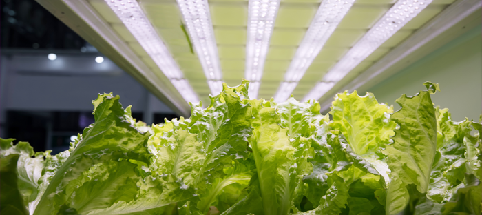 lettuce under lights and in containers
