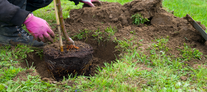 planting a young tree