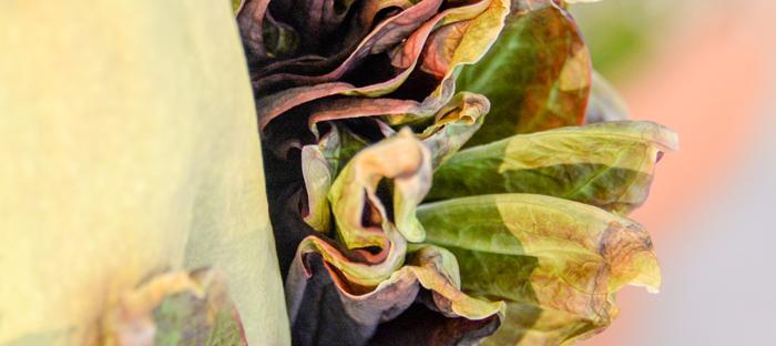 Spathe Ruffles on Corpse Flower