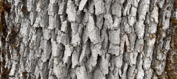Closeup of Oregon White Oak Bark