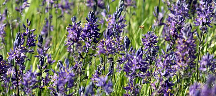 Purple Cama Flowers