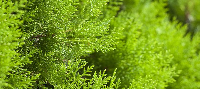 American Arborvitae Leaves