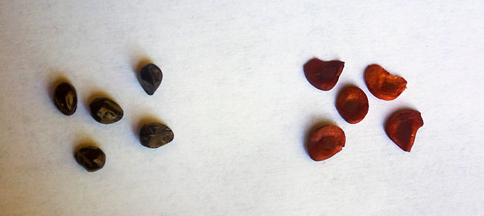 Hemerocallis (daylily) seeds on left and Iris ensata (Japanese iris) seeds on right