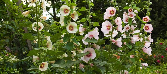 Alcea rosea 'Donkerhart'