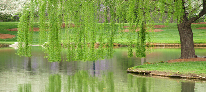 weeping willow tree draped over water