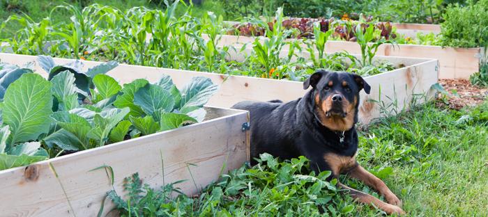 Rottweiler sitting between raised bed gardens