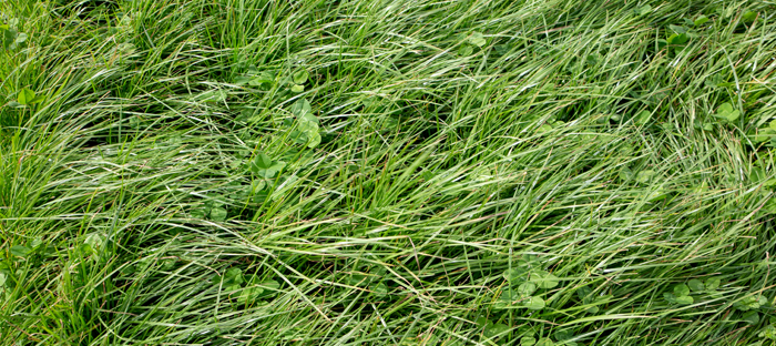 Long blades of Perennial Ryegrass