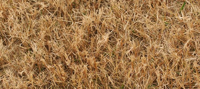 Dry, dead grass