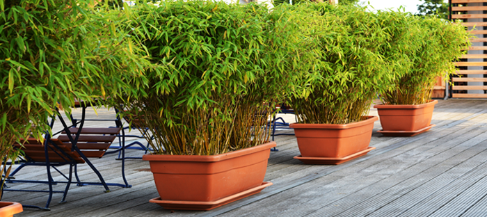 Row of bushy potted bamboo plants on wood deck