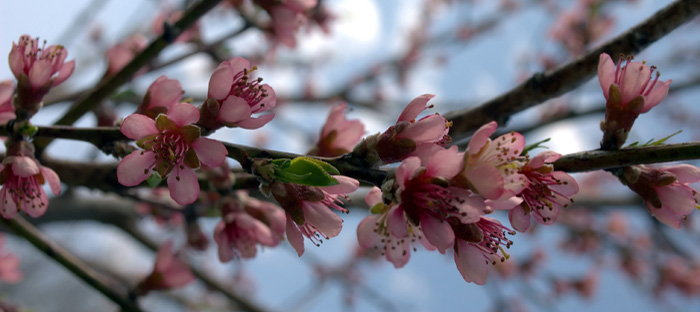 red rareripe peach tree blossoms