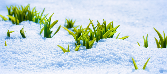 Green Sprouts on White Snow