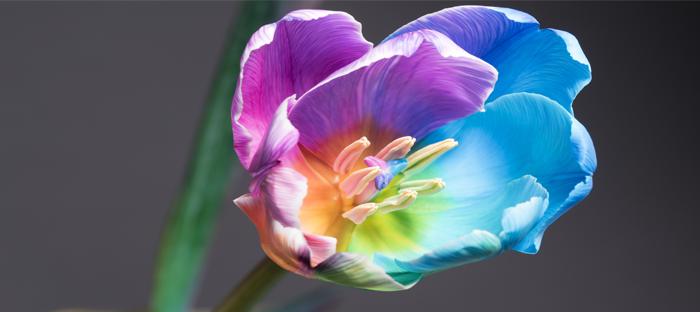 Rainbow Dyed Flower