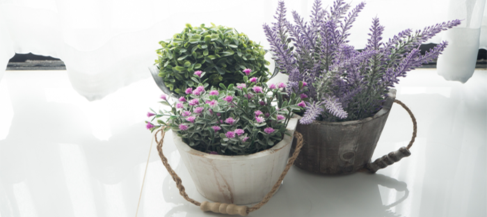 Dwarf Lavender in Small Pot