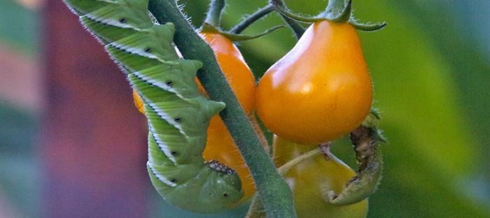 Hornworm on Tomato Plant