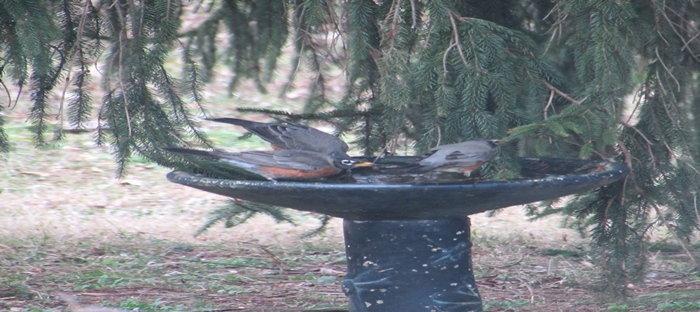 robins at a birdbath
