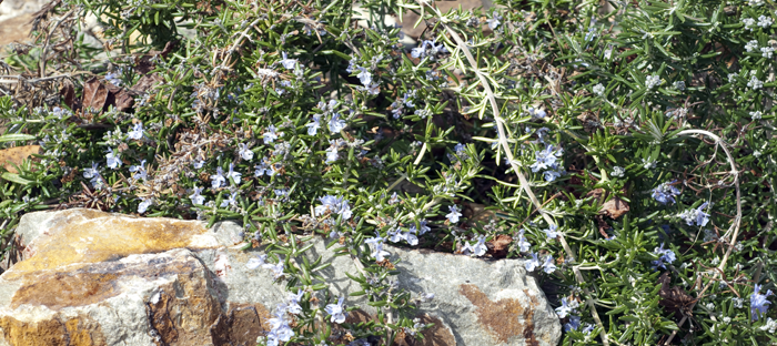 Creeping Rosemary growing over rocks