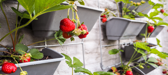 Fruiting Strawberry Plants In Wall Planters