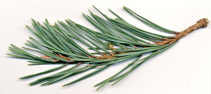 Pine Needle Branch