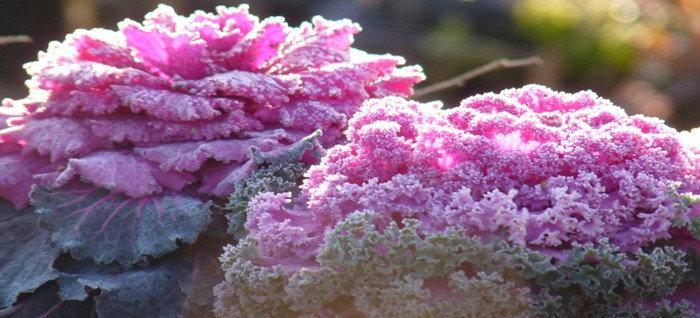 pink ornamental kale