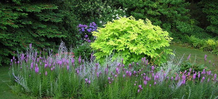 aralia 'sun king' plantfiles