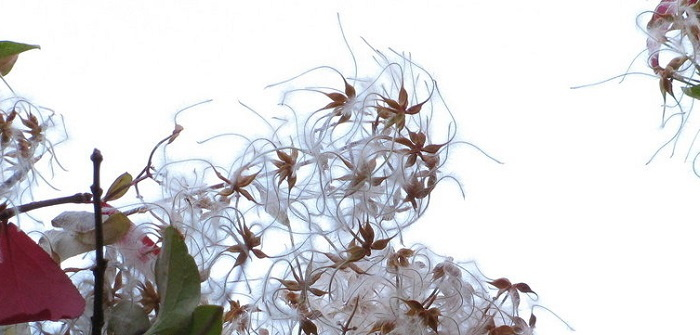 sweet autumn clematis seed heads