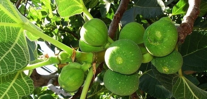 figs on a tree