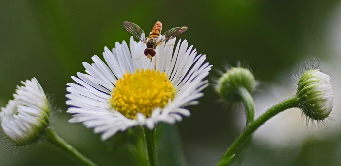 fleabane with hoverfly