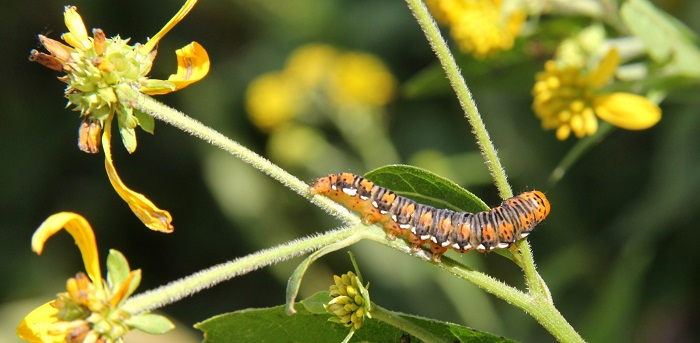 caterpillar on yellow blooming plant