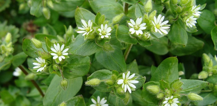 chickweed plants with flowers