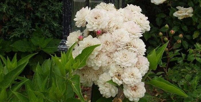 'White Pet' rose