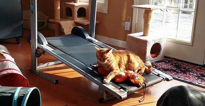 cat on treadmill