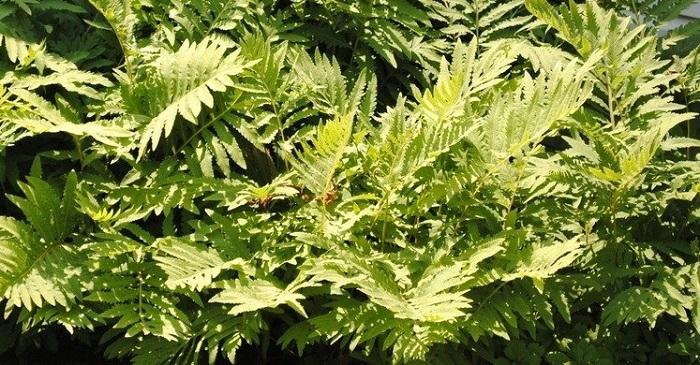 colony of sensitive fern