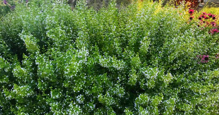 calamint in bloom