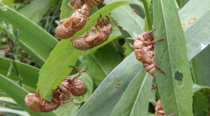 cicada hulls