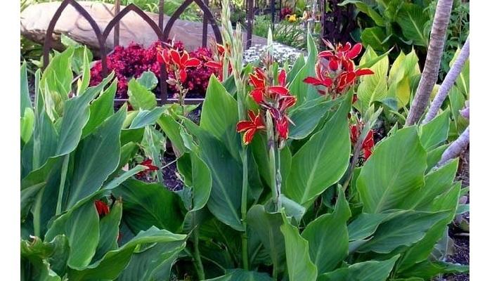 red cannas in the garden