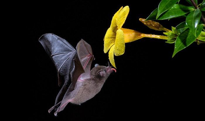 bat licking nectar from a flower