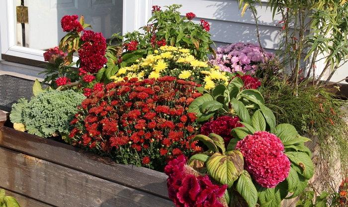 Easy Plants For New Gardeners Celosia Cockscomb Dave S Garden