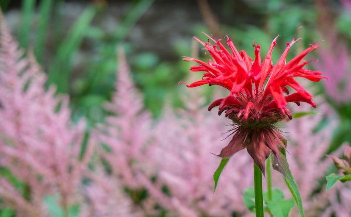 a bee balm flower