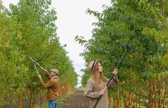 people pruning trees
