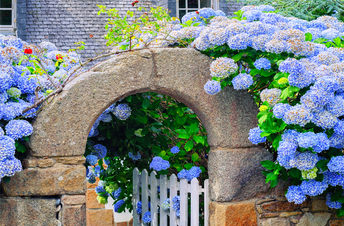 Tall wall of blue hydrangeas next to a stone archway