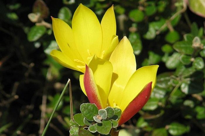 tubergen's gem tulip