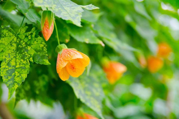 abutilon flowers