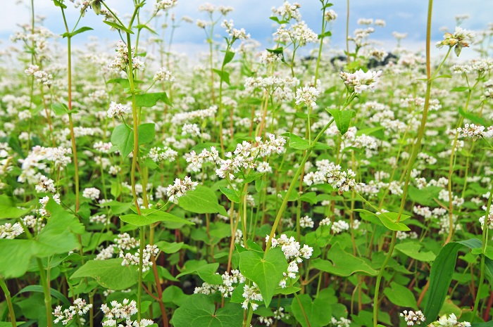 buckwheat is commonly used as a cover crop
