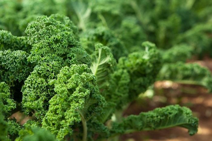 kale in the garden